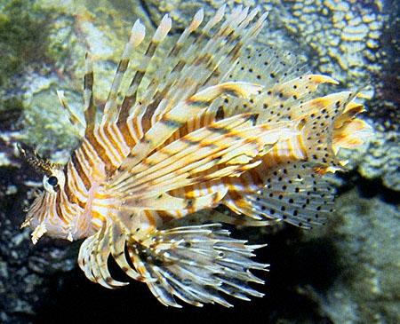Tiger fish aquarium for Tiger fish pictures